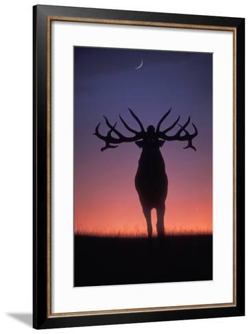 Red Deer Stag Roaring During Rutting Season, Dusk--Framed Art Print