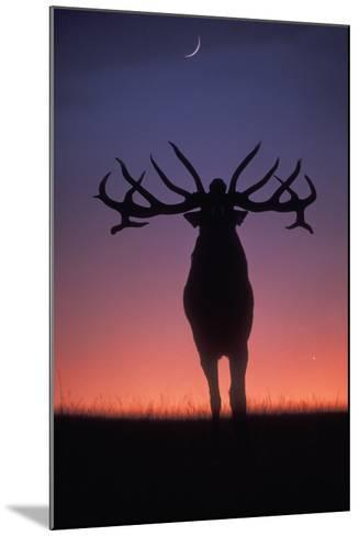 Red Deer Stag Roaring During Rutting Season, Dusk--Mounted Photographic Print
