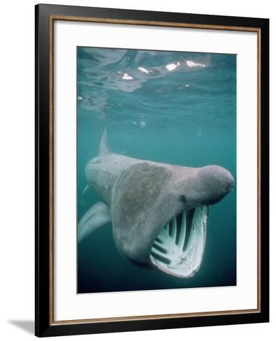 Basking Shark Mouth Open--Framed Art Print