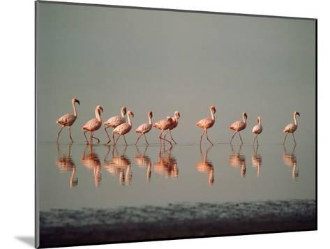 Lesser Flamingo Line of Eleven--Mounted Photographic Print