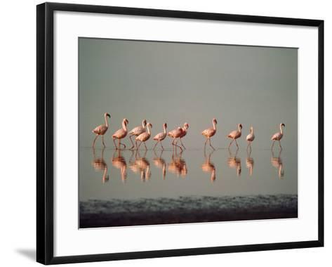 Lesser Flamingo Line of Eleven--Framed Art Print