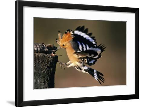 Hoopoe Bird Feeding Young in Flight--Framed Art Print