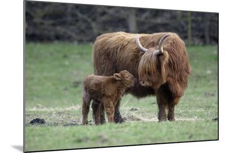 Highland Cow with Calf Calf Seeks Contact from Mother--Mounted Photographic Print