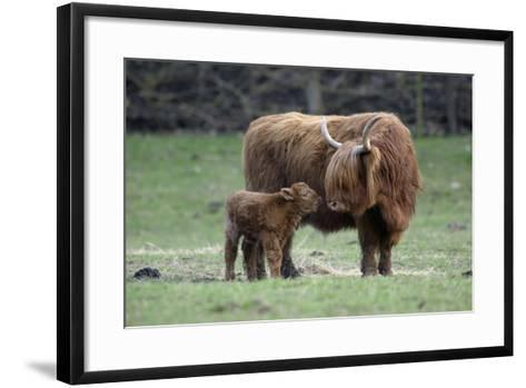 Highland Cow with Calf Calf Seeks Contact from Mother--Framed Art Print