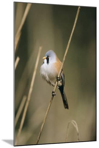 Bearded Tit--Mounted Photographic Print
