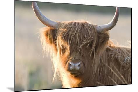 Highland Cattle--Mounted Photographic Print
