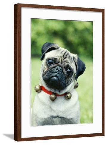 Pug Dog Wearing Collar with Bells--Framed Art Print
