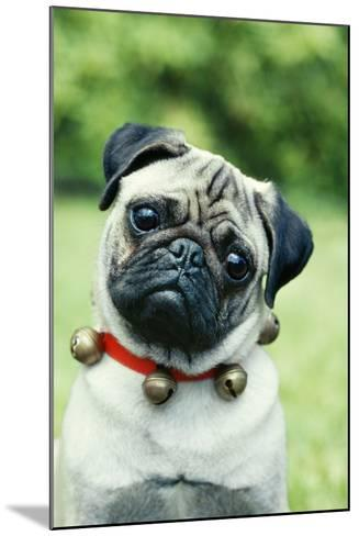 Pug Dog Wearing Collar with Bells--Mounted Photographic Print