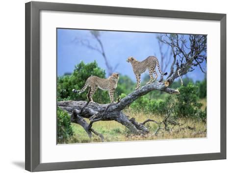 Cheetah Two on Branch--Framed Art Print