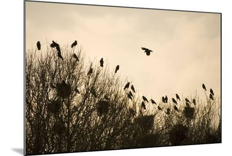 Rook Roosting in Tops of Trees in Winter--Mounted Photographic Print