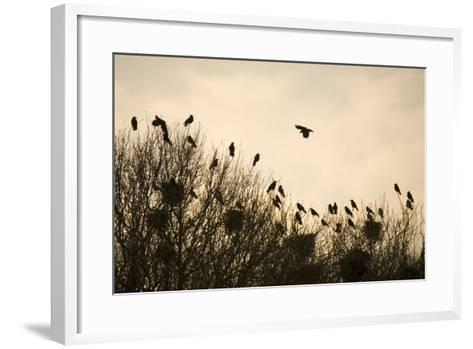 Rook Roosting in Tops of Trees in Winter--Framed Art Print