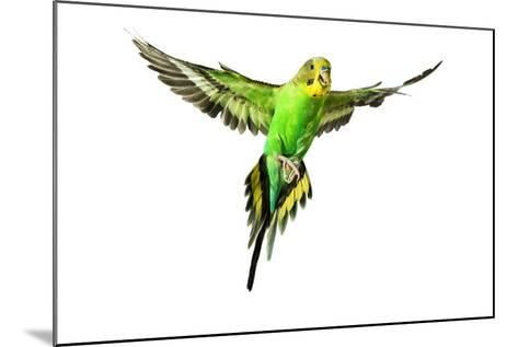 Budgerigar in Flight--Mounted Photographic Print