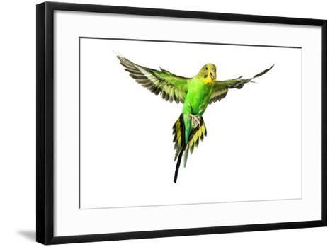 Budgerigar in Flight--Framed Art Print