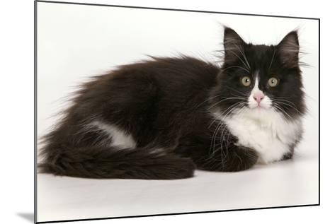 European Cat Black and White--Mounted Photographic Print