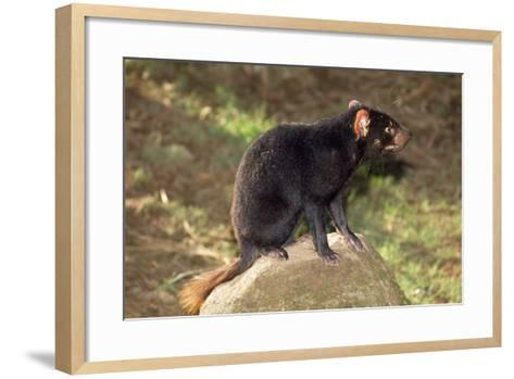 Tasmanian Devil Perched on Rock Enjoying Sun--Framed Art Print