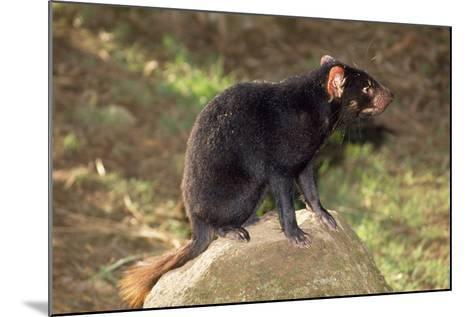 Tasmanian Devil Perched on Rock Enjoying Sun--Mounted Photographic Print