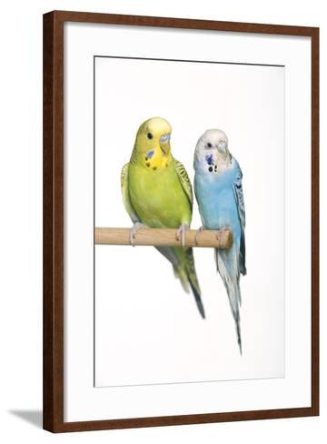 Budgerigar Two on Perch--Framed Art Print