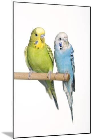 Budgerigar Two on Perch--Mounted Photographic Print