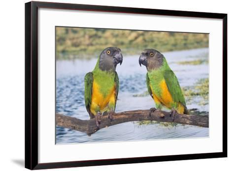 Senegal Parrot Two--Framed Art Print