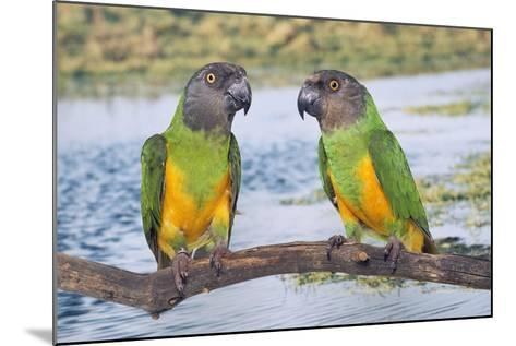 Senegal Parrot Two--Mounted Photographic Print