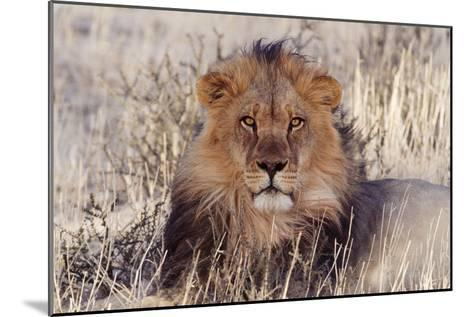 Lion Close-Up of Head, Facing Camera--Mounted Photographic Print