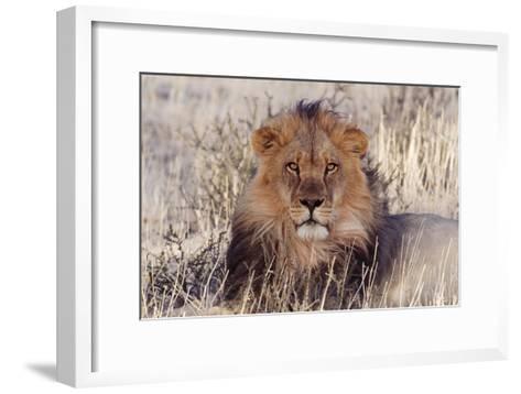 Lion Close-Up of Head, Facing Camera--Framed Art Print