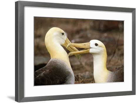 Waved Albatross Courtship Display--Framed Art Print