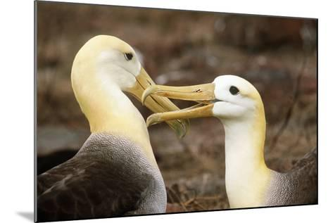 Waved Albatross Courtship Display--Mounted Photographic Print