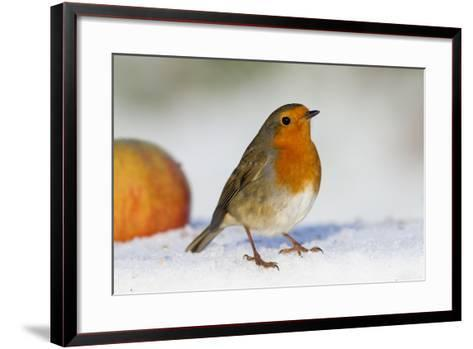 Robin in Snow with Apple--Framed Art Print