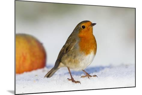 Robin in Snow with Apple--Mounted Photographic Print
