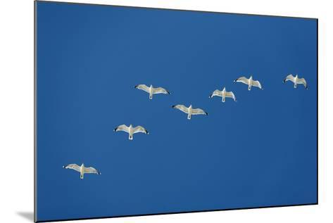 Herring Gull Flock in Flight--Mounted Photographic Print