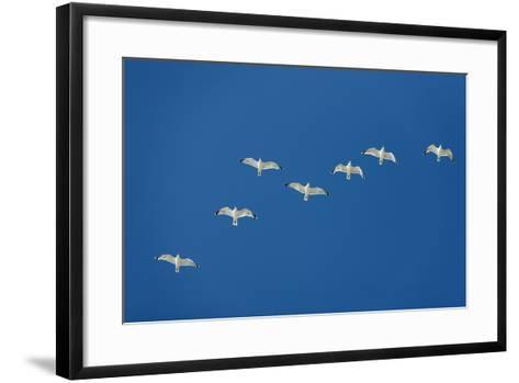 Herring Gull Flock in Flight--Framed Art Print
