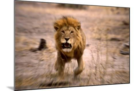 Lion Male, Charging--Mounted Photographic Print