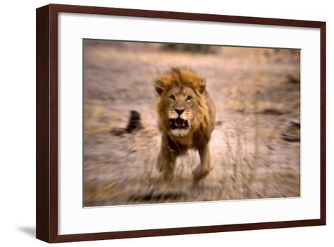 Lion Male, Charging--Framed Art Print