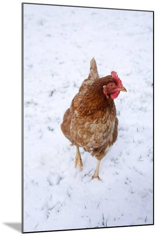 Chicken in Snow--Mounted Photographic Print