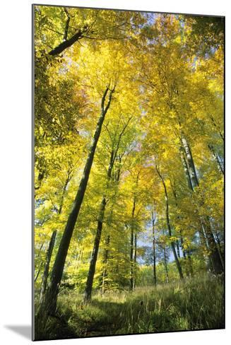Beech Forest in Autumn Colour--Mounted Photographic Print