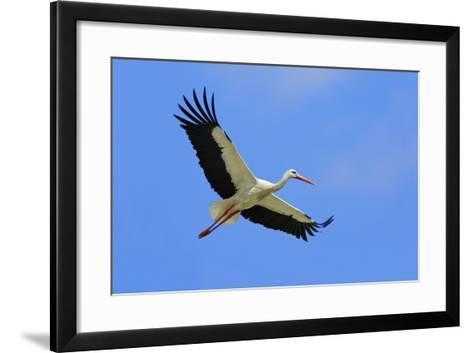 White Stork in Flight--Framed Art Print