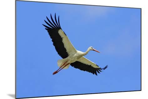 White Stork in Flight--Mounted Photographic Print