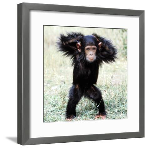 Chimpanzee Young, with Arms on Head--Framed Art Print