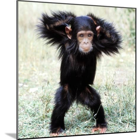 Chimpanzee Young, with Arms on Head--Mounted Photographic Print