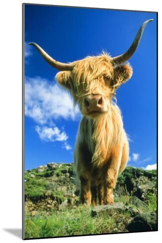 Cattle, Highland Cow--Mounted Photographic Print