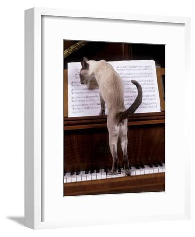 Blue Siamese Standing on Piano 'Reading' Music--Framed Art Print