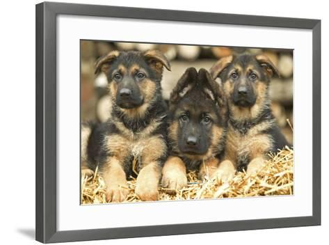 German Shepherd Three Puppies--Framed Art Print