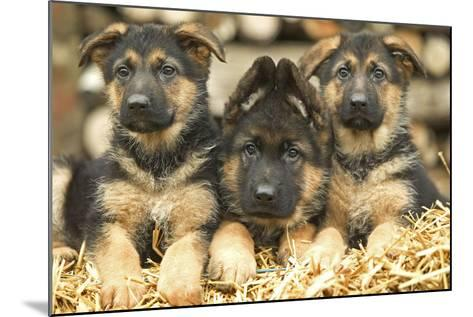 German Shepherd Three Puppies--Mounted Photographic Print