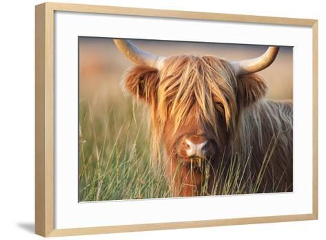 Highland Cattle Chewing on Grass--Framed Art Print