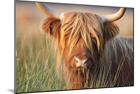 Highland Cattle Chewing on Grass--Mounted Photographic Print