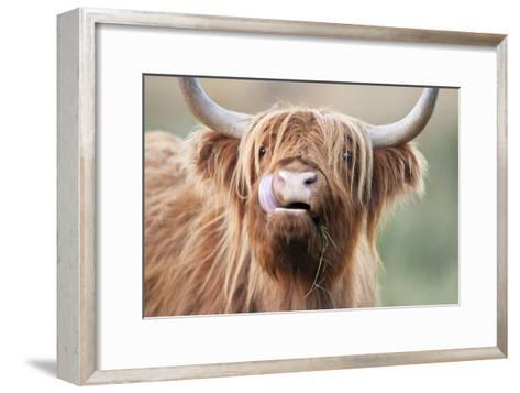 Highland Cattle Chewing on Grass--Framed Art Print
