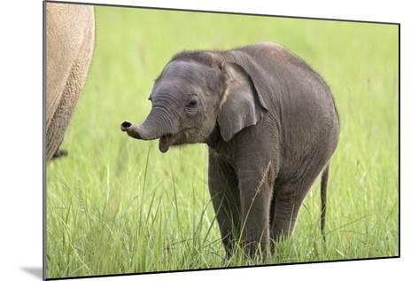 Asian Elephant Calf--Mounted Photographic Print