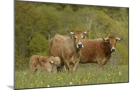 Aubrac Cows with Calf--Mounted Photographic Print
