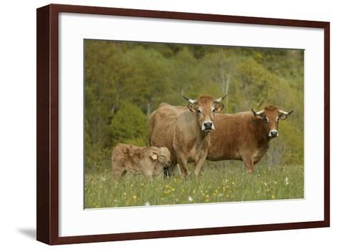 Aubrac Cows with Calf--Framed Art Print